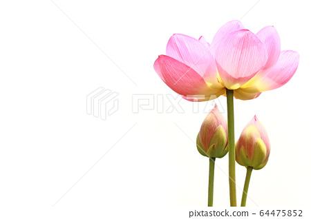 莲花 64475852