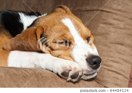 Young beagle sleep on pillow. 64484124