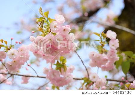 겹 벚나무의 꽃 64485436