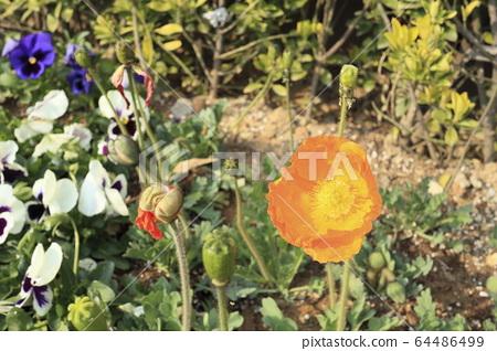 주황색 양귀비꽃 64486499