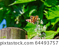 Butterfly Vanessa Cardui, known as painted lady 64493757