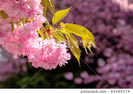 sakura close up in the morning. beautiful 64494574