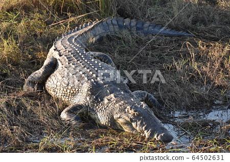 尼羅河鱷魚(博茨瓦納喬貝國家公園) 64502631