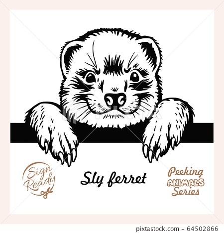 Peeking Sly ferret - Funny ferret peeking out - face head isolated on white 64502866