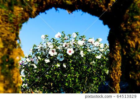 Nara flower, Hibiscus flower 64513829