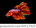 Beautiful betta splendens half moon siamese betta 64517425