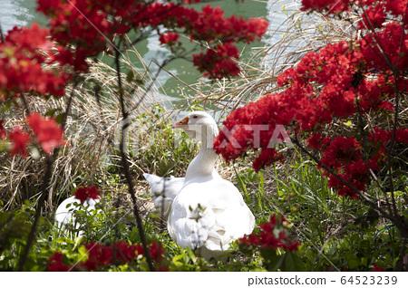 鵝在紅色的花朵 64523239