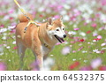 Flower field walk dog 64532375
