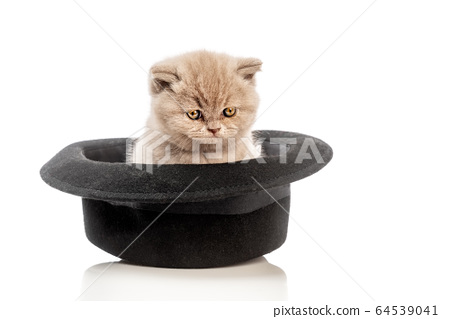 Cute monthly kitten of British purebred breed, on a white background, in a cashmere clown hat. 64539041
