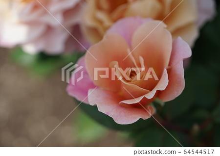 핑크 장미 1 64544517