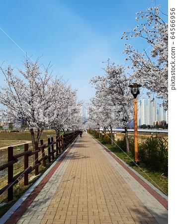 벚꽃길 64566956