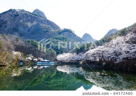 전라북도 진안군 마이산 탑영제에 핀 벚꽃 64572460