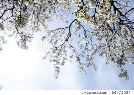 맑은 하늘의 구름과 벚꽃 64573084