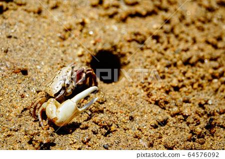 가로림만에서 발견한 흰발농게, 보호대상해양생물 멸종위기종 64576092