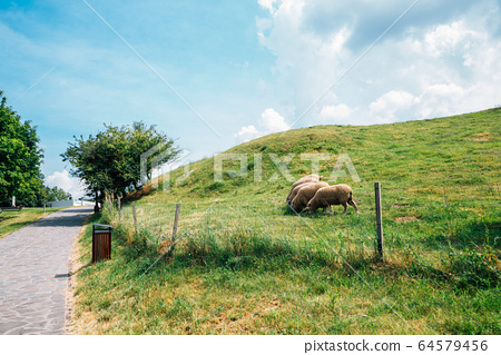 Sheeps on grass field at Devin Castle in Slovakia 64579456