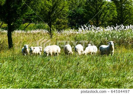 경주 오케이 그린목장의 양떼들 64584497