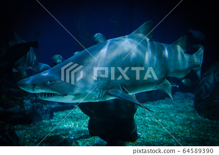 large Ragged Tooth Shark or Sand Tiger Shark 64589390