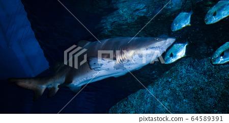 arge Ragged Tooth Shark or Sand Tiger Shark 64589391