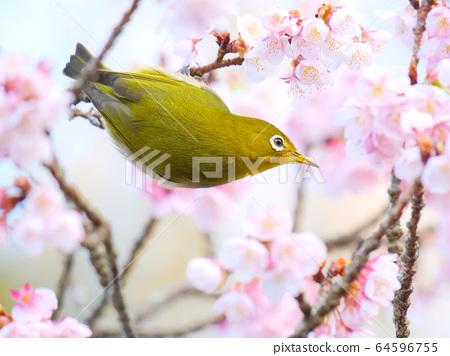 早春樱花和日本白眼 64596755
