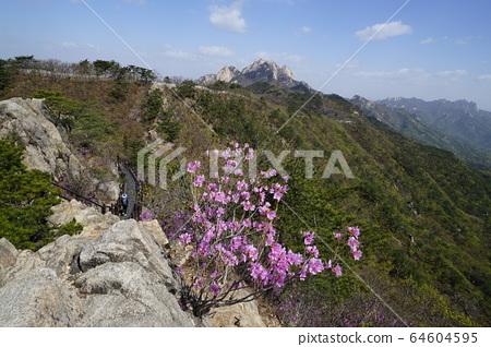 北漢山國家公園春天的花朵 64604595