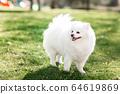 White small pomeranian spitz sitting on the lawn 64619869
