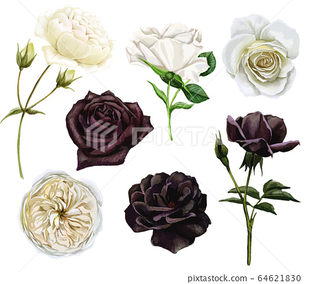 Black and white roses set, watercolor hand drawn vector illustration 64621830
