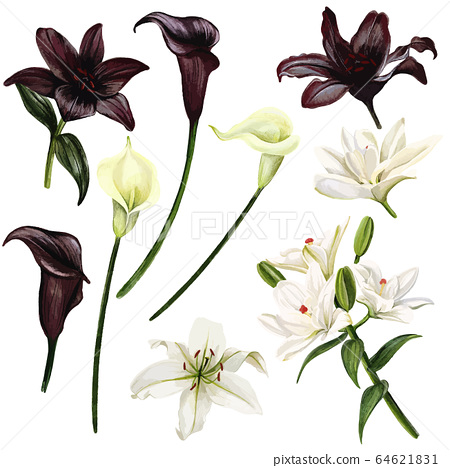 Black and white lilies and callas, watercolor hand drawn vector illustration 64621831