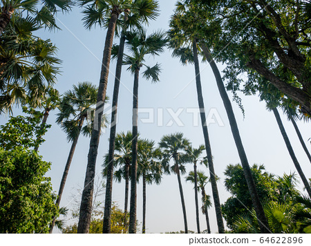 Betel nut from low view,Sun bright sky background. 64622896