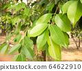 Left tree organic in garden.Close up leaf spring 64622910