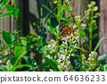 Painted lady butterfly on white flower 64636233