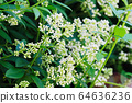Close up of flowering branches of privet hedge 64636236