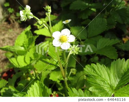 이 하얀 꽃은 붉은 열매가되는 딸기의 꽃 64648116