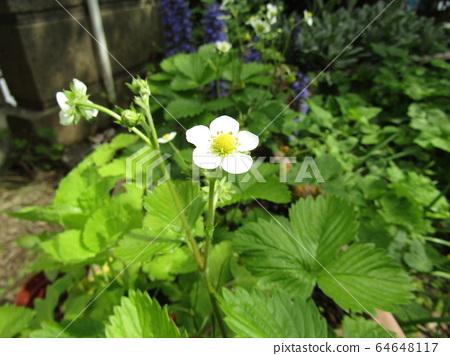 이 하얀 꽃은 붉은 열매가되는 딸기의 꽃 64648117