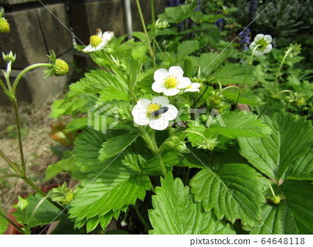 This white flower is a red strawberry flower 64648118