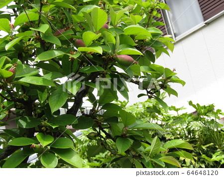 Karin fruit that has begun to bear fruit with stamens remaining 64648120