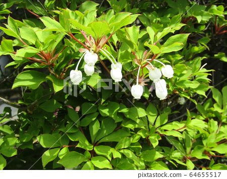 Flower of pure white bell dumanthouses that decorates a fence 64655517