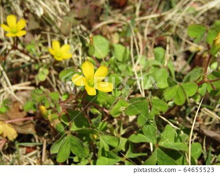 가문이 많은 괭이밥 노란 꽃 64655523