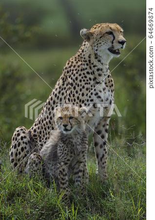 Cheetah 64669874