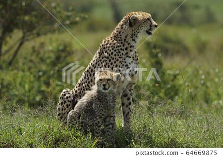 獵豹 64669875