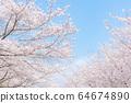 Cherry blossom trees in full bloom 64674890