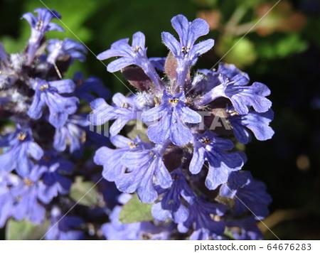 이 보라색 꽃은 12 단 꽃 64676283