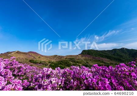 杜鵑花Hwangmaesan 64690210