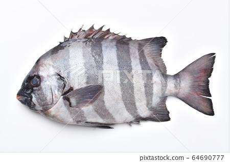 注意)小的灰塵和污垢將殘留在白色背景上。石魚,石鯛和新鮮的鮮魚。 64690777