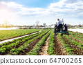 A farmer on a tractor cultivates the soil on the plantation of a young potato  64700265