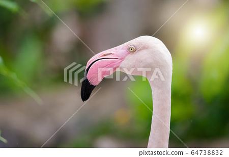 Pink Flamingo-close up, it has a beautiful 64738832