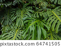 Close up Pile of Leaves Monsters with palm leaves. 64741505