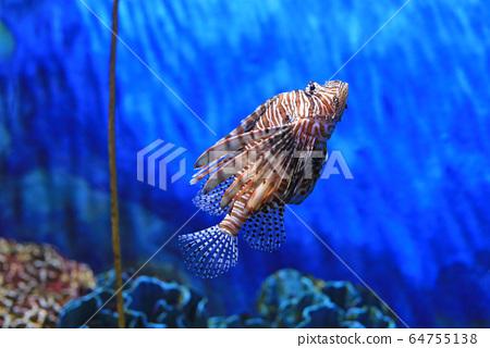 Lionfish (Pterois volitans) swimming in aquarium 64755138