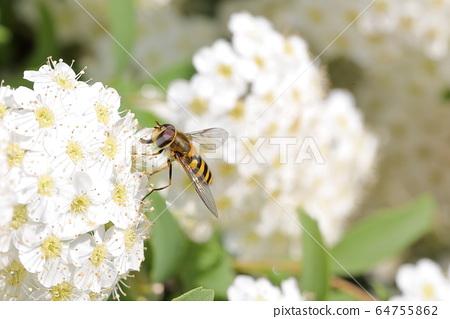 코데마리과 꽃등에과 64755862