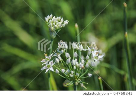 대 灣韭 菜花, 韭菜 是 일종 營養 豐富으로 綠黃 색 채소, 在秋天 유 很多 흰색으로 꽃가루 성 미려으로 반구형 꽃. 64769843