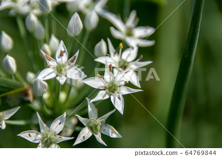 대 灣韭 菜花, 韭菜 是 일종 營養 豐富으로 綠黃 색 채소, 在秋天 유 很多 흰색으로 꽃가루 성 미려으로 반구형 꽃. 64769844